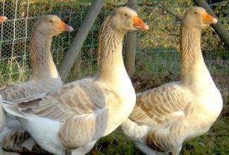 Ameerika buff hani, foto: https://www.waterfowl.org.uk/domestic-waterfowl/heavy-geese/american-buff-goose/