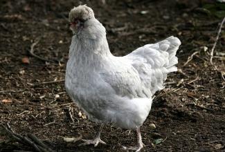 Kasvatatavad kanatõud, Lavendel Araucana kana