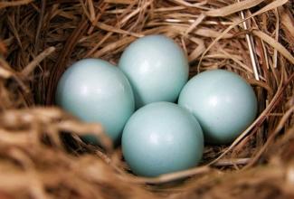 Kasvatatavad kanatõud, Araucana munad, foto internetist