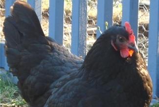 Kana tõug australorp