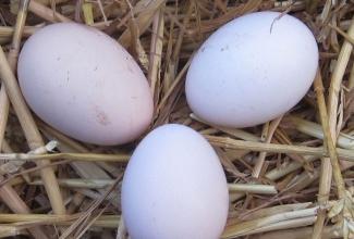 Kasvatatavad tõud, Ayam Cemani munad, foto Chickenhill