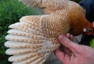 Brakel, värvus: valgejutiline kuldne, foto: http://www.aviculture-europe.nl/nummers/11E04A05.pdf
