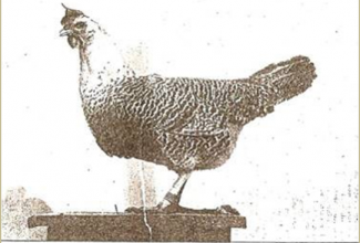 Brakel, foto: http://www.aviculture-europe.nl/nummers/11E04A05.pdf