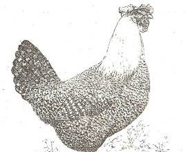 Brakel, foto: http://www.aviculture-europe.nl/nummers/11E04A05.pdf