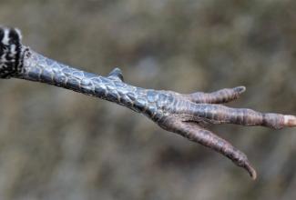 Brakel kuke jalg, foto Estfarm
