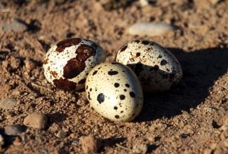 Eesti vuti munad, foto Estfarm