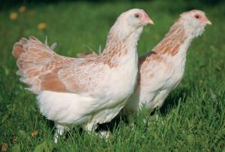 Kasvatatavad kanatõud, Lõhevärvilised Faverolli noorkanad, foto Whole Home News