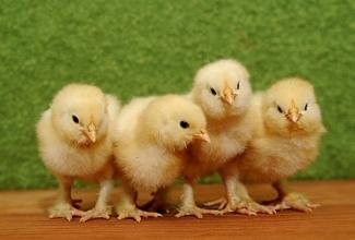 Kasvatatavad kanatõud, Faverolle tibud, foto newchickontheblog- carol