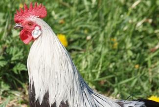 Kana tõug fööniks, hõbefööniksi kukk, foto Estfarm