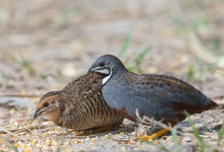 Ida-sinivutt, foto: https://singaporebirds.com/species/king-quail/