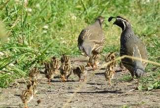 Kalifornia tuttvutid, foto: http://www.birdcanada.com/gabriola-commons-habitat-extraordinaire/calif-quail-and-babies-pr/?ak_action=reject_mobile