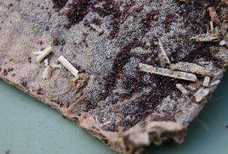 Kanalest, foto: http://vetstudentjourney.blogspot.com/2011/12/poultry-red-mite-dermanyssus-gallinae.html