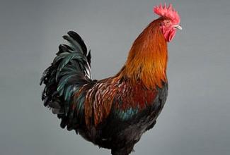 Kanatõug marans