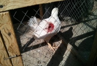 Foto: https://www.backyardchickens.com/content/type/61/id/6396079/