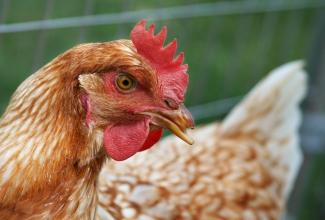 Foto: https://gn.wikipedia.org/wiki/Ta%27%C3%A3nga:Hen_chicken.jpg