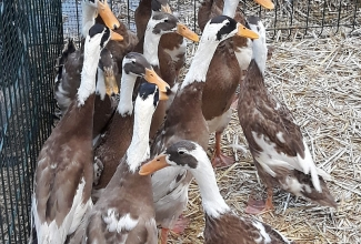 Kaunase küüliku- ja linnunäitus 2018
