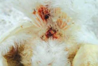 Lindude haigus koktsidioos, foto The Poultry Site