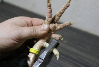 Kuke kannuste eemaldamine, foto Estfarm