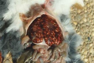 Küülikute haigused, maksakoktsidioos, foto Cuniculture. info