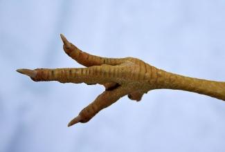 Linnu terve jalg, foto Estfarm
