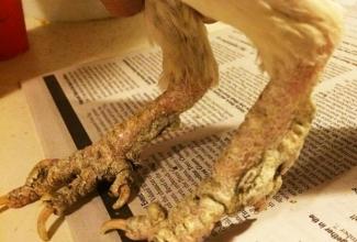 Foto: http://www.poultrydvm.com/condition/scaly-leg-mites