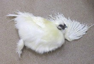 Foto: http://www.chickenvet.co.uk/health-and-common-diseases/mareks/index.aspx