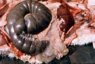 Küülikute haigus mukoidne enteropaatia, foto Faculdada de Medicina Veterinaris, Univeridade Tecnica de Lisbos