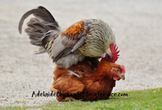 Muna viljastumine, foto: https://www.adelaidechickensittingservice.com/blog/how-long-does-it-take-for-a-rooster-to-fertilise-a-hen