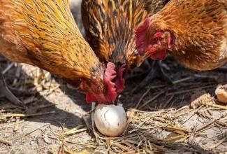 Foto: https://www.farmerstrend.co.ke/hens-eat-eggs-prevention-cure/