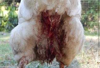 Foto: https://www.google.com/search?q=vent+prolapse+chicken&source=lnms&tbm=isch&sa=X&ved=0ahUKEwjvoqDpjqfgAhW0h6YKHTw-AY4Q_AUIDigB&biw=1280&bih=610#imgrc=355XLYGHDzYHAM: