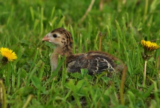 Kodulinnud, Pärlkana tibu  / Guinea fowl, foto EstFarm