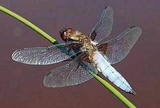 Foto: https://et.wikipedia.org/wiki/Vesikiillased